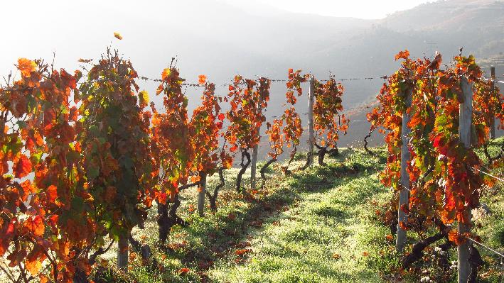 portuguese vines