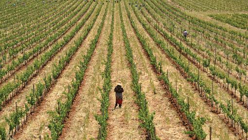 Syrischer Weinanbau