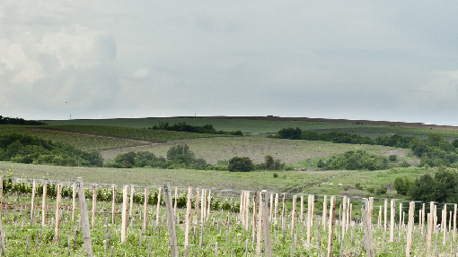Wine cultivation in Russia
