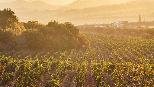 Weinbau in der Türkei