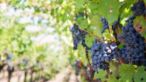 Rumänische autochthone und einheimische Weintrauben