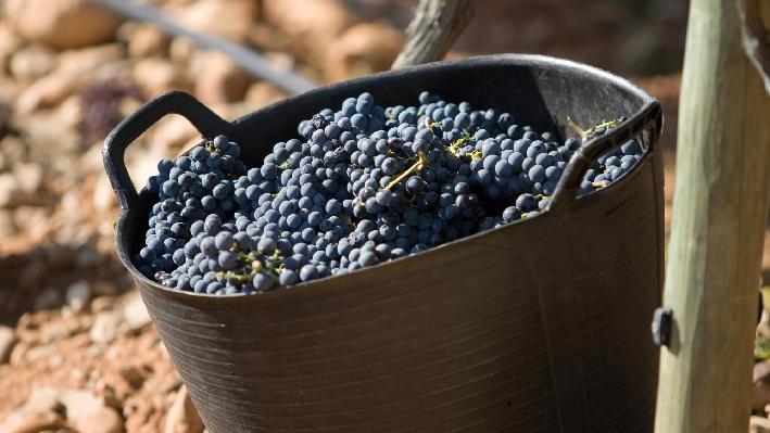 Grapes of Baron de Ley