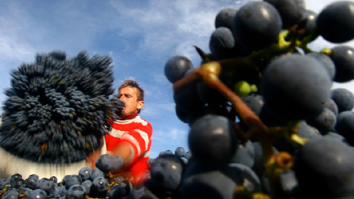 Harvest of Chateau Fakra