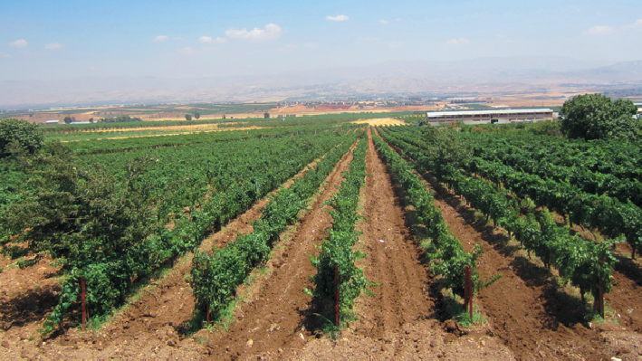 Vineyards of Chateau Fakra