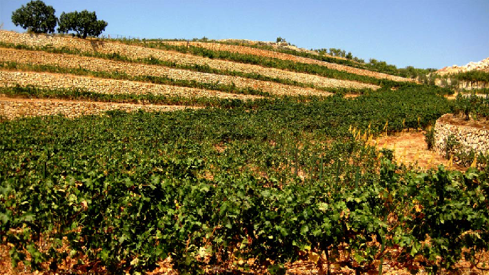 Vineyards of Chateau Fakra