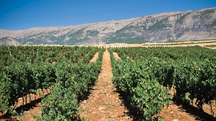 lebanese Vineyards of Chateau Marsyas
