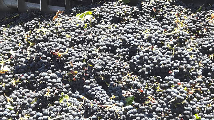 Grapes of Chateau Nakad from Lebanon