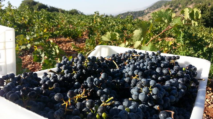 Harvest of Chateau Qanafar
