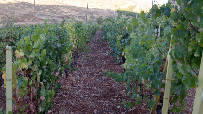 Vineyard of Coteaux du Liban
