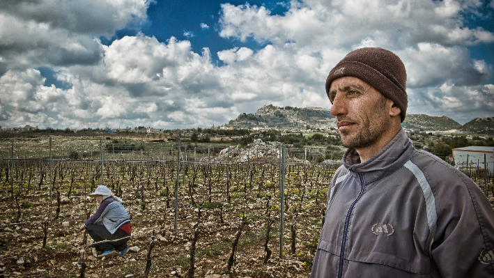 Harvest of Domaine Bargylus