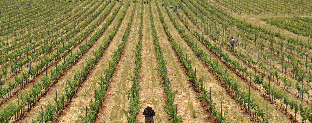 syrian Vineyards of Domaine Bargylus