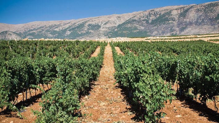 Vineyards of Domaine Bargylus in Syrien