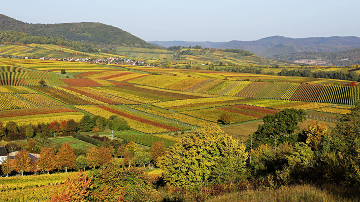 Vineyards in Birkweiler from the Palatinate