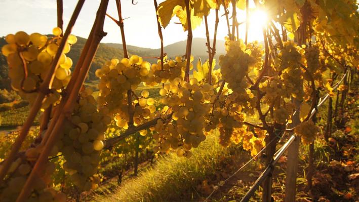 Weinreben von Birkweiler aus der Pfalz