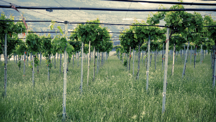 lebanese Vines of Latourba