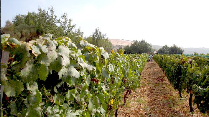 Vineyards of Aurora