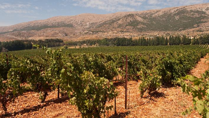 Weinfelder von Chateau Kefraya