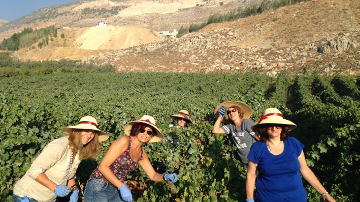 Harvest of Chateau St. Thomas