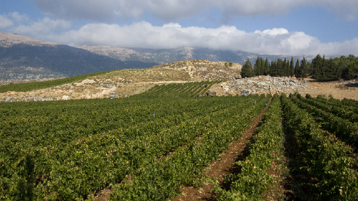 Vines in the Bekaa-Valley