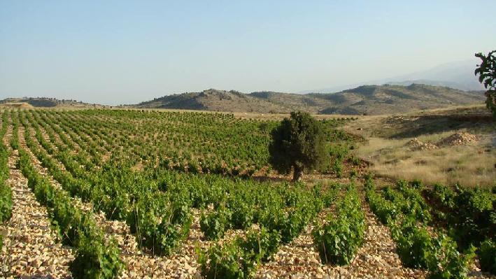 Weinfelder von Chateau Barka